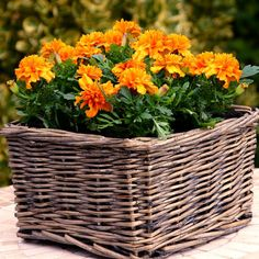 Tagetes Marigold Oranje (Afrikaantjes) - 10 planten