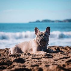 Beach Day. Greyson, the French Bulldog