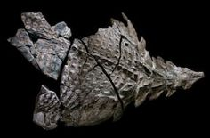 Canadian miners discovered the best-preserved nodosaur fossil accidentally. The 110 million-year-old fossil holds its form, a rarity. Oil Sands, Dinosaur Fossils, Dinosaur Bones, The Good Dinosaur, Prehistoric Animals, Extinct Animals, Coal Mining, Vertebrates, Clothes Horse