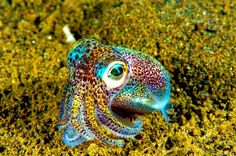 The tiny Hawaiian Bobtail Squid. These beautiful rainbow colored squid inhabit only a specific area of the central Pacific Ocean in the vicinity of the Hawaiian Islands. Underwater Creatures, Underwater Life, Ocean Creatures, Beautiful Creatures, Animals Beautiful, Cute Animals, Coral Reef Ecosystem, Fauna Marina, Les Reptiles