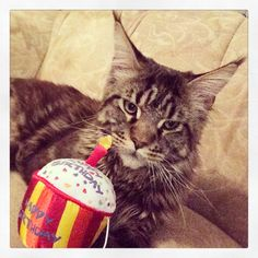 Maine coon cat birthday