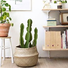 larger cactus are the perfect feature for any decor. loving the earthy tones in this pic  #cactus #succulents #cacti #euphorbia #cactuslovers #cactusoftheday #succulentoftheday #arizona #greenhouse #echinocactus #garden #interior #landscaping #haworthia #weddingbouquet #weddingfavours #agave #cactusgarden #succulentgarden #cactuszengarden #pinterest #thecactuscollectiveaus by thecactuscollectiveaus