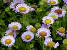Seaside Daisy Plants: Learn About Growing Seaside Daisies - What are seaside daisies? Also known as beach aster or beach daisy, seaside daisy plants are flowering perennials that grow wild along the Pacific Coast, from Oregon and Washington south to Southern California. This tough little plant is found in rugged environments such as coastal scrub and sand dunes.