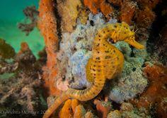 https://flic.kr/p/V2NgFi | Big Bellied Seahorse (Hippocampus abdominalis) | Rye Pier, Port Phillip Bay, Victoria, Australia