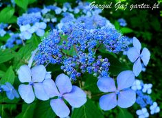 Hydrangea serrata Hortensja piłkowana Gargul Gaj Gartex gartex.pl