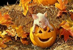 Baby Animals Pictures, Animals Images, Cute Animals, Baby Piglets, Cute Piglets, Pig Halloween, Pot Belly Pigs, Small Pigs, Mini Pigs