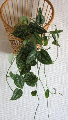 Tietoja kasvista Hopeaköynnös, Scindapsus pictus 'Argyraeus', silverranka. Hopeaköynnös köynnöstelee kiipimäjuurensa avulla. Amppelissa sen juuret eivät pääse multaan, jolloin se voi kitua. Voi aiheuttaa paikallisia ärsytysoireita.
