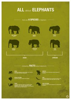 Elephant Species facts infographic