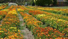 All you need to know about calendula - Jurlique Blog Australia