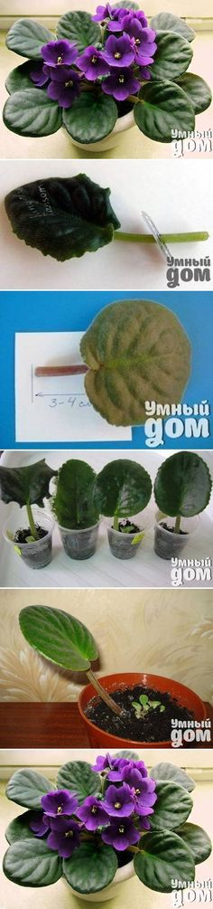 DIY Grow Violet Flowers from leaves - instructions in a foreign language.  well... no instructions purty much jest pic's