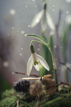 Photographer\'s photo Iwona - snowdrop 2