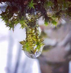 Gefrorener #Tautropfen im winterlichen #Wald . . . . . . . . . . . . . . #winter #winterwonderland #eis #eiszapfen #kalt #moos #baum #nadelbaum #natur # Naturschönheit #wassertropfen #wasser #ice #nature #beauty #cold #tree #green Glass Vase, Instagram, Winter, Plants, Beauty, Dew Drops, Water Drops, Cold, Nature