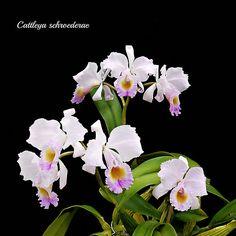 Cattleya schroederae   The right blossom are Cat. schroedera…   Flickr