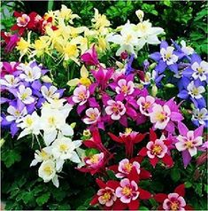 Dwarf Columbine Aquilegia Flower Seeds Mixed Colors w/ Gift. Plants appreciate afternoon shade in hot climates. Harvesting: Columbine makes a lovely cut flower. Sun Plants, Cool Plants, Garden Plants, Summer Plants, Flowering Plants, Shade Perennials, Flowers Perennials, Exotic Flowers, Beautiful Flowers