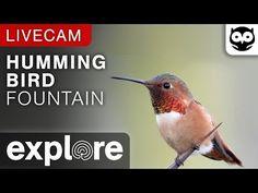 Hummingbird Fountain Camera powered by EXPLORE.org - YouTube