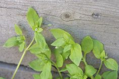 medicinal and edible uses of Chickweed, a common garden weed