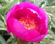 """Chameleon - Very Early Hybrid, single lavender pink blooms on compact bushes with gray-green foliage, it belongs to the """"Rock Garden Peonies"""" group, (William Krekler-Roy G. Klehm, USA). www.peonyshop.com"""