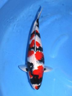 The 42nd Zen Nihon Rinyukai All Japan Koi Show  50bu Champion:Showa Sanshoku(bred by Sekiguchi Koi Farm)  Owner: Mr, Roy  -Narita Koi Farm-