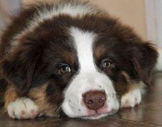 Bolo the Australian shepherd. big green eyes!!