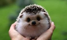 hedgehog  ❤