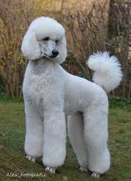 Image result for white standard poodle