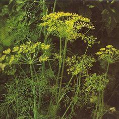 Foto van de desbetreffende plant