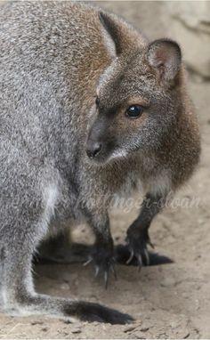 By jhs Toronto Zoo, Kangaroo, Animals, Animais, Animales, Animaux, Animal, Dieren, Kangaroos