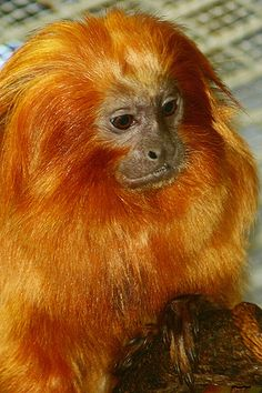 Golden Lion Tamarin by MNesterpics, via Flickr Golden Lion Tamarin, Dog Pin, Borneo, Wild Life, Grande, Creatures, Cute, Animals, Bornean Orangutan