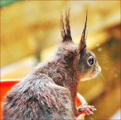 Eekhoorn - Squirrel #herfst