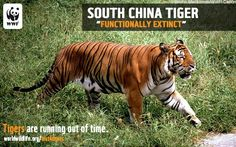 The South China tiger has not been sighted in the wild for more than 25 years. Currently 47 South China tigers live in Chinese zoos, but the species is believed to be functionally extinct. If any do still exist in the wilds of Southeast China, there is neither adequate habitat nor prey left for them.