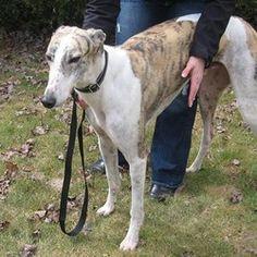 Beautiful Greyhound.  One of many for adoption