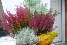 Közeleg a nyári balkonszezon vége, amikor az egynyári virágainknak is búcsút kell inteni. Kár lenne azonban jövő tavaszig, majdnem fél évig csupaszon hagyni az erkélyeket. Olyan egynyáriak helyére ültethető növényeket gyűjtöttem csokorba, amelyek a... The post Ezeket a növényeket ültesd az egynyáriak helyére appeared first on Balkonada. Lombok, Erika, Bali, Plants, Gardening, Lawn And Garden, Plant, Planets, Horticulture