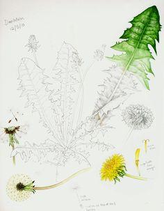 dandelion Botanical sketchbook studies of dandelion by Lizzie Harper Nature Sketch, Nature Drawing, Illustration Botanique, Plant Illustration, Sketchbook Inspiration, Art Sketchbook, Botanical Drawings, Botanical Prints, Watercolor Flowers