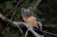 Northern Saw-whet Owl (Aegolius acadicus) juvenile. Photo by Kristian Skybak.