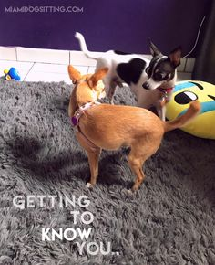 First love?? #DogsAreCool #Dogs #DogsOfInstagram #DogsOfTwitter #Chihuahuas
