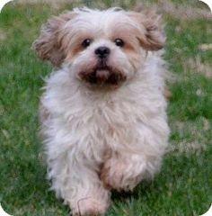 Adopted Madisonville, TN - Cocker Spaniel/Lhasa Apso Mix. Meet Kasmi a Dog for Adoption.