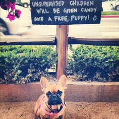 """""""I'm still waiting for my Unsupervised Child and Candy?"""", Funny French Bulldog Puppy."""
