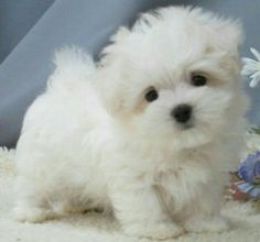 Maltipoo puppy - Teacup & Toy Maltipoo puppies for sale on Long Island New York, Call anytime at 6319233112 Toy Maltipoo, Maltipoo Puppies For Sale, Cute Dogs And Puppies, Baby Puppies, Doggies, Teddy Bear Puppies, Corgi Puppies, Newborn Puppies, Dog Breeds