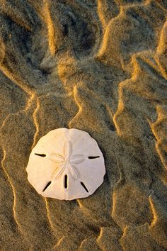 hueandeyephotography:  Sand Dollar, Kiawah Island, SC  © Doug Hickok  All Rights Reserved