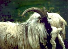 The Iceland goat is a rare isolated breed of Nordic origin dating back to the settlement of Iceland over 1100 years ago.