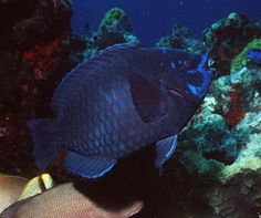 Midnight Parrotfish Parrot Fish, Creatures 3, Scuba Diving, Mexico, Sea, Places, Water, Inspiration, Animals