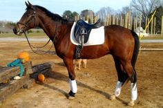 17 hand 6 year old OTTB gelding.  Elegant mover and eye catching good looks.  Moves and looks like a warmblood.  Shows aptitude for jumping, willingly jumping 3'3 courses!