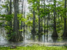 Swamp Photograph - The Beauty