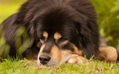 Lataa kuva Tiibetinmastiffi, 4k, musta koira, lemmikit, isot koirat, kuono, Tiibetin Mastiffi Koirat