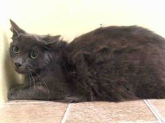 Adopted/rescued* NYC TO BE DESTROYED Friday. Aug.1'14  MAISY. Young, gorgeous, spayed and SUPER SWEET!!! ID #A1007613. I am a spayed female gray about 4 YEARS old. OWNER SUR LLORDPRIVA. I came in with Group/Litter #K14-186908. https://www.facebook.com/nycurgentcats/photos/a.836635609687761.1073742384.220724831278845/836635953021060/?type=3&theater