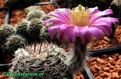 Echinocereus radians