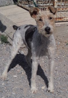 Vickie is an 11 year young fox terrier who lived happily with her owner, spoilt and loved. Unfortunately she ended up in a French shelter after the person's passing away. Vickie has a new home through TERRIERSOS
