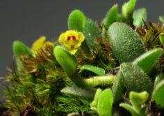 Trichotosia dasyphylla | Nimal Kumar | Flickr