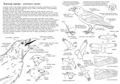how_to_draw_a raven by_elruu , How to draw Raven , Bird Anatomy reference sheet, how to draw birds, animals, drawing realistic birds, raven, sketch, draw, tutorial, sketchbook, art teacher, art lesson