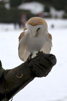 Barn Owl (Tyto Alba), via Flickr.